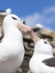 Black-Browed Albatross Greeting Courtship Display. Falkland Islands by Martin Zwick