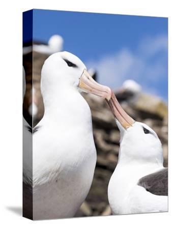 Black-Browed Albatross Greeting Courtship Display. Falkland Islands