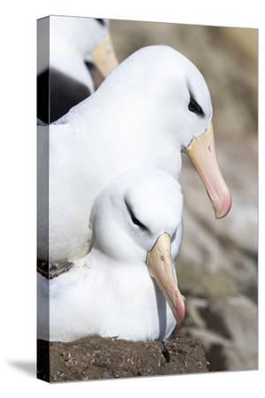Black-Browed Albatross or Mollymawk, Mating on Nest. Falkland Islands