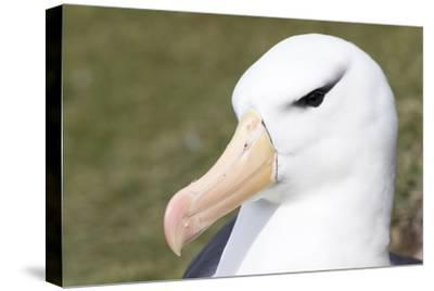 Black-Browed Albatross or Mollymawk, Portrait. Falkland Islands