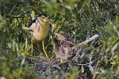 Black-Crowned Night Heron Bird in the Danube Delta, Nest and Chick, Romania