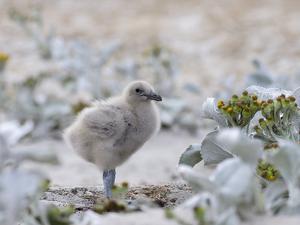 Chick of Falkland Skua. by Martin Zwick