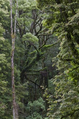Eucalyptus Forest with Epiphytes, Great Otway National Park, Victoria, Australia by Martin Zwick