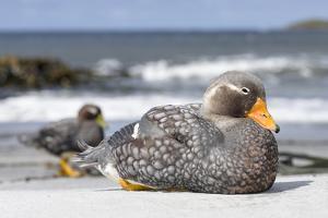 Falkland flightless steamer duck. Falkland Islands by Martin Zwick