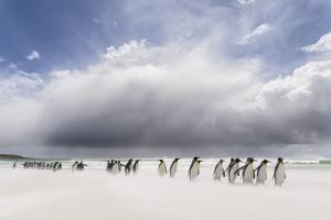 Falkland Islands. King Penguins Watch as a Storm Approaches by Martin Zwick