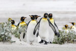Falkland Islands, South Atlantic. Group of King Penguins on Beach by Martin Zwick