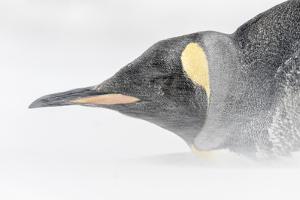 Falkland Islands, South Atlantic. King Penguin Portrait on Beach by Martin Zwick