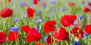 Field With Poppy And Cornflowers, Usedomer Schweiz, Island Of Usedom. Germany by Martin Zwick