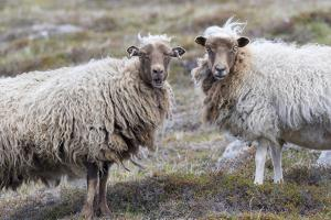 Foula Sheep on the Island of Foula. Shetland Islands, Scotland by Martin Zwick