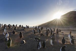 Gentoo Penguin Falkland Islands. Colony. by Martin Zwick