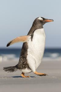 Gentoo Penguin Falkland Islands. Marching at evening to the colony. by Martin Zwick