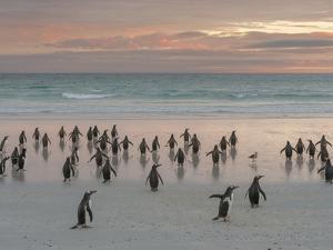 Gentoo Penguin Falkland Islands. by Martin Zwick