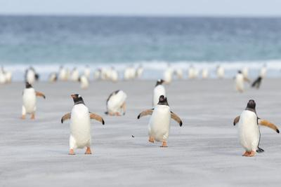 Gentoo Penguin Walking to their Rookery, Falkland Islands