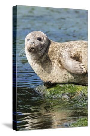 Harbor Seal on the Coast of the Shetland Islands. Scotland