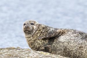 Harbor Seal on the Coast of the Shetland Islands. Scotland by Martin Zwick