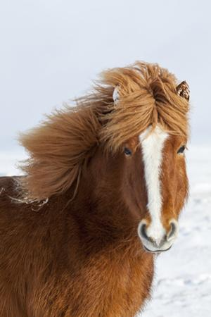Icelandic Horse with Typical Winter Coat, Iceland by Martin Zwick