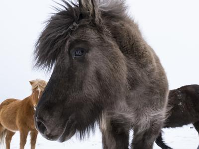 Icelandic Horse with Typical Winter Coat, Iceland