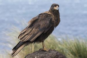 Juvenile Striated Caracara. Falkland Islands by Martin Zwick