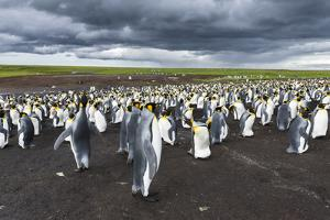 King Penguin Colony on the Falkland Islands, South Atlantic by Martin Zwick
