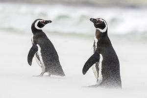 Magellanic Penguin on Beach. Falkland Islands by Martin Zwick
