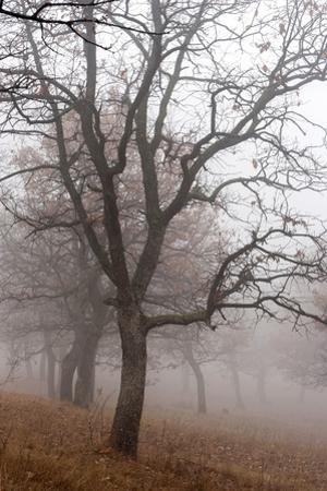 Oak forest in fog in autumn, Romania. by Martin Zwick