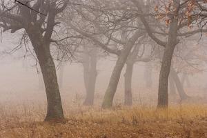 Oak forest in fog in autumn. by Martin Zwick