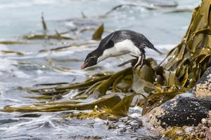Rockhopper Penguin Climbing down the cliffs to jump into the sea. Falkland Islands by Martin Zwick