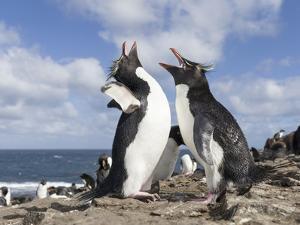 Rockhopper Penguin Greeting and bonding behavior. Falkland Islands by Martin Zwick