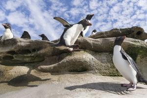 Rockhopper Penguin Hopping up and down the cliffs. Falkland Islands by Martin Zwick