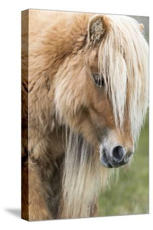 Shetland Pony on the Island of Foula, Part of the Shetland Islands in Scotland by Martin Zwick