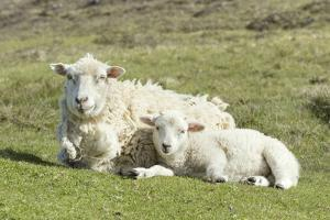 Shetland Sheep at the Cliffs of the Hermaness Nature Reserve, Unst, Shetland Islands, Scotland by Martin Zwick