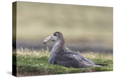 Southern Giant Petrel (Macronectes Giganteus), on the Falkland Islands