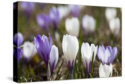 Spring Crocus Flowers, Eastern Alps, South Tyrol, Italy