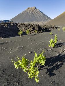Traditional viniculture in the Cha de Caldeiras,. Stratovolcano mount Pico do Fogo. Fogo Island by Martin Zwick