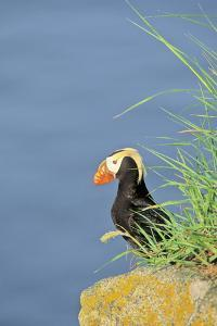 Tufted puffinon a cliff on Round Island, Alaska. by Martin Zwick