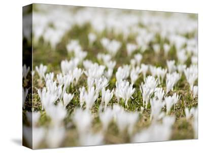 White Spring Crocus in Full Bloom in the Eastern Alps. Germany, Bavaria
