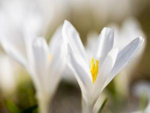 White Spring Crocus in Full Bloom in the Eastern Alps. Germany, Bavaria by Martin Zwick