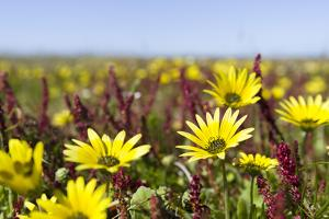 Wildflowers along Costa Vicentina, Algarve, Portugal by Martin Zwick