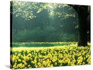 Spring Garden, Narcissus, Tree Bright Sunshine France Narcissi Paris by Martine Mouchy