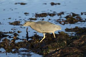 Black-Crowned Night Heron by Mary Ann McDonald