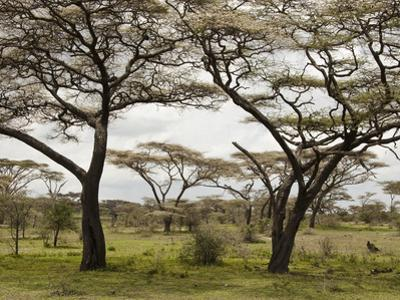 Savanna Landscape, Serengeti National Park, Tanzania by Mary Ann McDonald