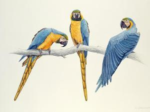 Blue and Yellow Macaws by Mary Clare Critchley-Salmonson