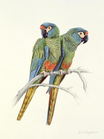 Illiger's Macaw, 1987 by Mary Clare Critchley-Salmonson