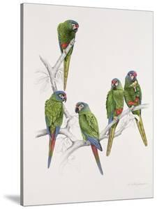 Illiger's Macaw Group, 1987 by Mary Clare Critchley-Salmonson