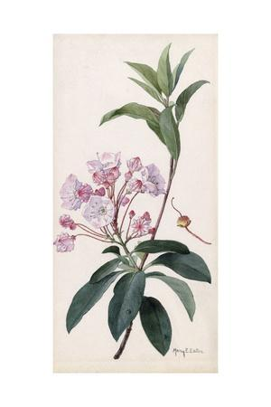 A Branch Sprig and Blossom from a Mountain Laurel Shrub
