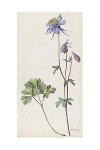 A Painting of a Sprig of Colorado Blue Columbine by Mary E. Eaton