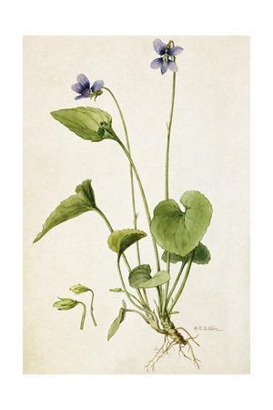 A Painting of a Sprig of Marsh Blue Violet and its Blossom
