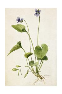 A Painting of a Sprig of Marsh Blue Violet and its Blossom by Mary E. Eaton