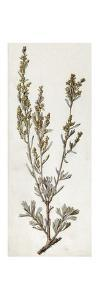 A Painting of a Sprig of the Plant, Big Sagebrush by Mary E. Eaton