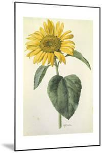 A Painting of the Common Sunflower by Mary E. Eaton